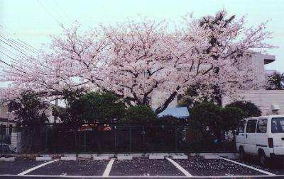 Niwa_sakura